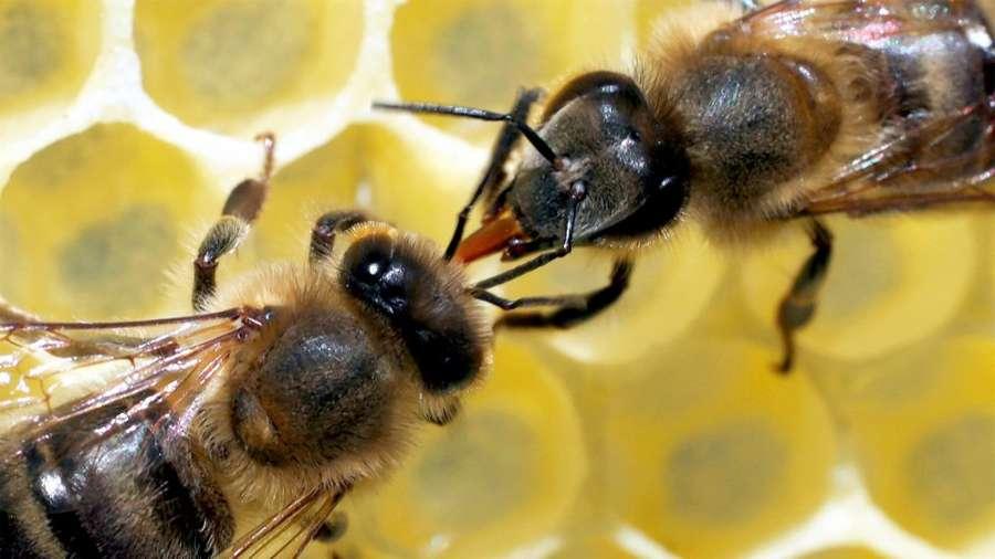 Unsere Bienen - Rettung in Sicht?