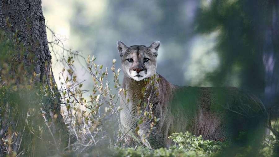 Jäger der Anden - Der Puma